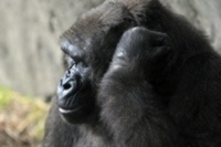 Gorilla trek offers holiday of a lifetime